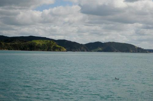 Dolphin in the Bay of Islands, New Zealand